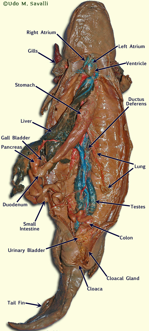rabbit anatomy and dissection guide