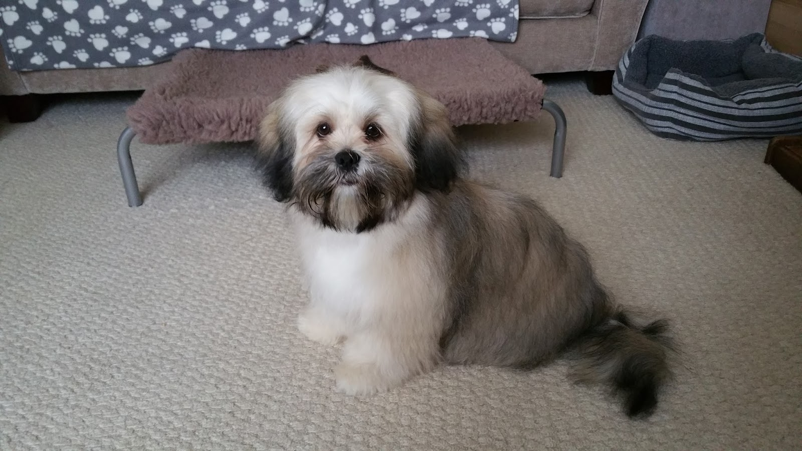 lhasa apso puppy feeding guide