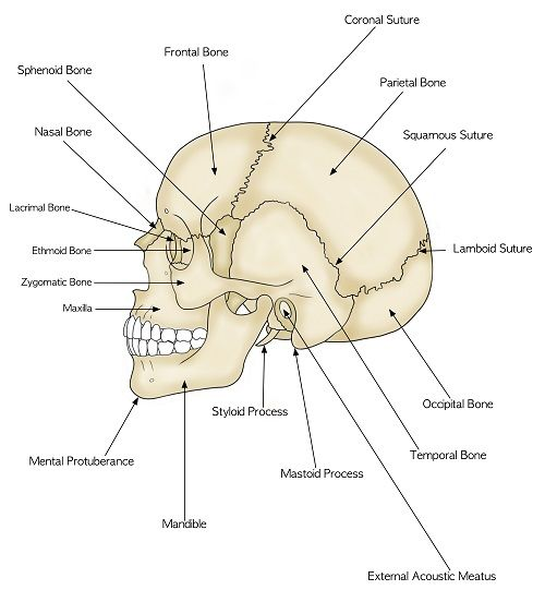 study guide for human anatomy and physiology